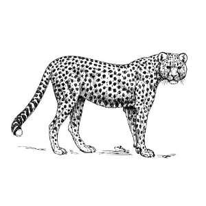 Round Badge Style Fridge Magnet Line Drawing Cheetah
